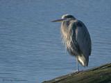 Great Blue Heron 28b.jpg