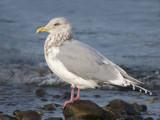 Thayers Gull 6b.jpg