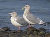 Thayers Gulls 2b.jpg
