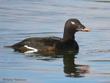 White-winged Scoter 28b.jpg