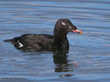 White-winged Scoter 29b.jpg