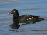 White-winged Scoter 35b.jpg