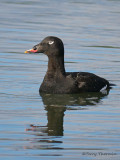 White-winged Scoter 36b.jpg
