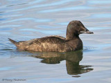 White-winged Scoter female 6b.jpg