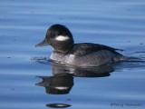 Bufflehead female 9b.jpg