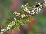 Lichens and mosses 1b.jpg