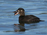 Surf Scoter female with clam 1b.jpg