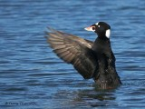 Surf Scoter wing flapping 6b.jpg