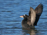 Surf Scoter wing flapping 7b.jpg