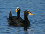 Surf Scoters alert 1b.jpg