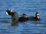 Surf Scoters interaction 3b.jpg