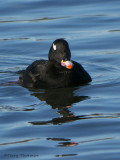 White-winged Scoter 15b.jpg
