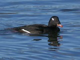 White-winged Scoter 16b.jpg