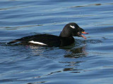 White-winged Scoter with clam 2b.jpg