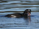 White-winged Scoter with clam 6b.jpg