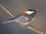 Chestnut-backed Chickadee 8b.jpg