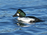 Common Goldeneye 26b.jpg
