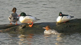 Common Mergansers 9b.jpg