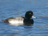 Greater Scaup 8b.jpg