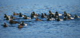 Greater Scaups 3b.jpg