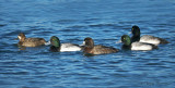 Greater Scaups 5b.jpg
