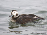 Long-tailed Duck adult female winter 5b.jpg