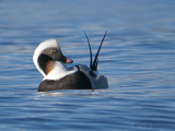 Long-tailed Duck preening 1b.jpg
