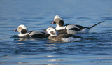 Long-tailed Ducks 13b.jpg