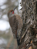 Northern Flicker 18b.jpg