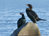 Pelagic and Double-crested Cormorant 1b.jpg