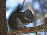 Red Squirrel 16b.jpg