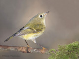 Ruby-crowned Kinglet 1e.jpg