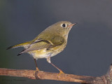 Ruby-crowned Kinglet 2b.jpg