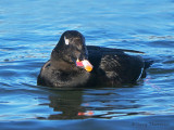 White-winged Scoter 25b.jpg