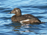 White-winged Scoter female 9b.jpg