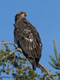 Bald Eagle juvenile 17b.jpg