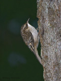 Brown Creeper 5b.jpg