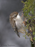 Brown Creeper 8b.jpg