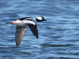 Bufflehead in flight 1b.jpg
