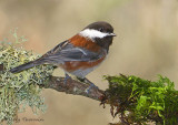 Chestnut-backed Chickadee 14d.jpg