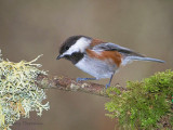 Chestnut-backed Chickadee 22d.jpg