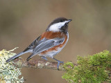 Chestnut-backed Chickadee 23d.jpg