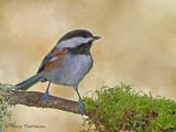 Chestnut-backed Chickadee 24b.jpg