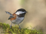 Chestnut-backed Chickadee 25b.jpg