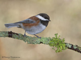 Chestnut-backed Chickadee 27b.jpg