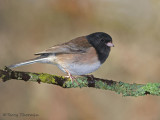 Dark-eyed Junco 31b.jpg