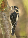 Downy Woodpecker 13c.jpg