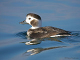 Long-tailed Duck juvenile female 3b.jpg