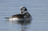 Long-tailed Duck juvenile male preening 5b.jpg