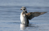 Long-tailed Duck juvenile male wing-flapping 3b.jpg